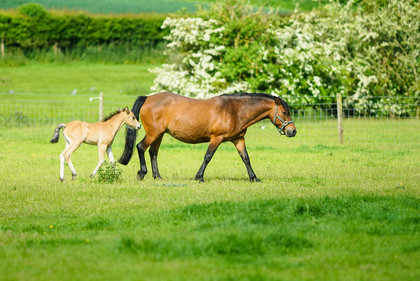 Lynda and Carsons Foal 012 